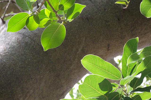 ガジュマルとアコウの葉
