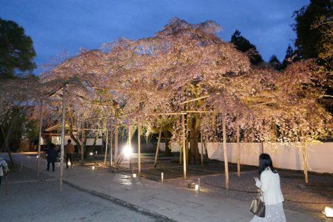 醍醐寺 枝垂桜